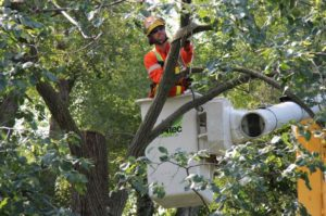 Tree Service cutting down a street tree in Denver, CO